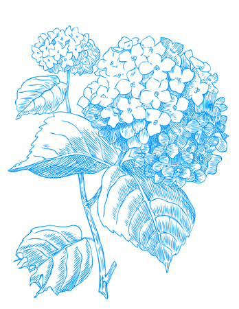 Hand drawn pen and ink Hydrangea botanical illustration. Иллюстрация
