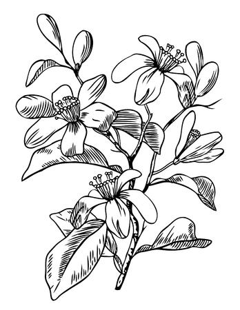 Pluma y tinta de grabado ilustración botánica de flor de naranja.