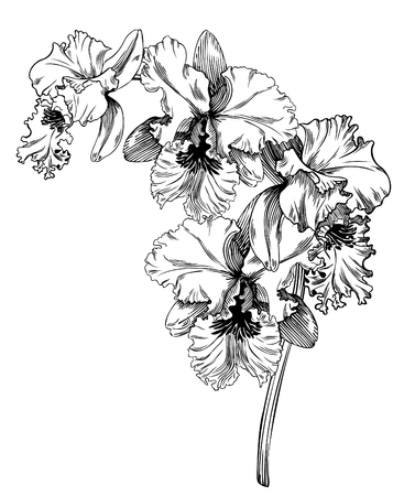 Hand drawn pen and ink orchid botanical illustration. Colors can be changed easily. Flowers are separate groups