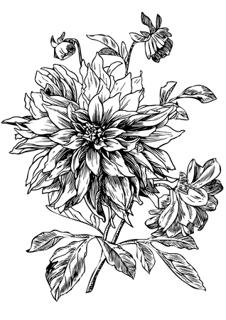 Hand drawn pen and ink Dahlia illustration.