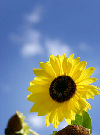 sunflower and bright sunny day Stock Photo