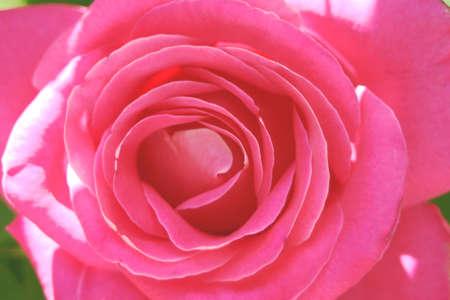 Macro image of a pink rose 版權商用圖片 - 267256