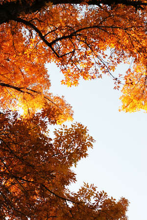 Fall leaves in the trees Stock Photo