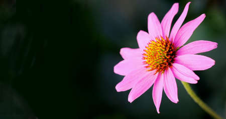 generosity: Pink petaled flower extending out next to a black background Stock Photo