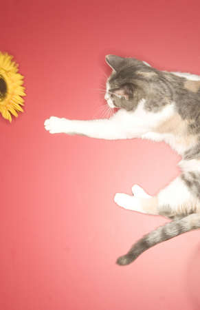 hope indoors luck: cute cat plays with yellow flower against a pinkish backdrop Stock Photo