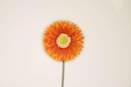 hope indoors luck: orange flower against white background Stock Photo