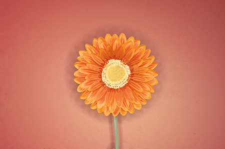 hope indoors luck: Orange flower against a pinkish background Stock Photo