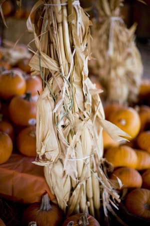 pumpkins on the outer background with corn husks in the foreground in an autumn scene during halloween Imagens