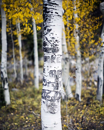 A lone Aspen tree in a forest of Aspen trees with carvings made by people on the bark and trunk of the tree in fall  Imagens