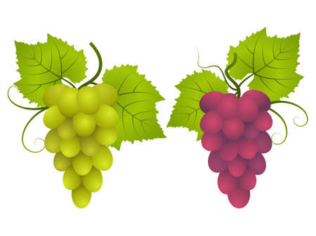 Bunches of red and green grapes. Vector illustration. Vector