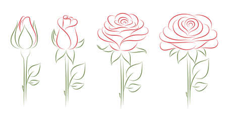 budding: Blooming Rose. Vector illustration.