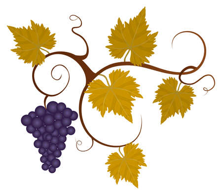 Grape vine isolated on the white background.