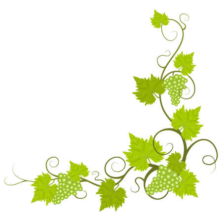 grapes on vine: Grape vine Illustration