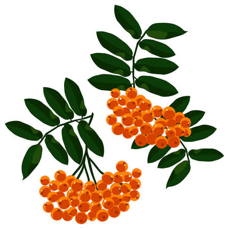 Mountain ash branches set isolated on the white background. Vector illustration. Vector