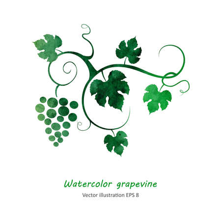 Watercolor style grapevine. Vector illustration. 矢量图像