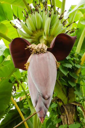 banana blossom in garden for cooking photo