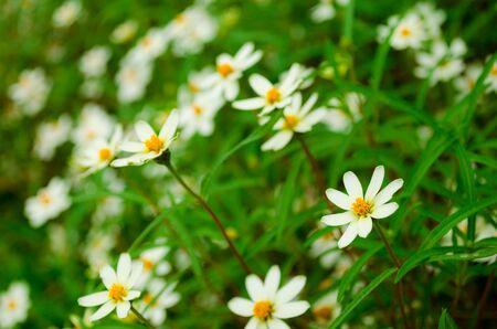 zinnia: white zinnia Stock Photo