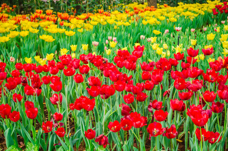 tulips field: red and yellow tulips field