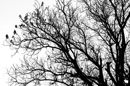 parte de la silueta del árbol muerto sin las hojas aisladas en blanco
