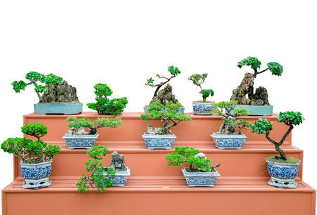 beautiful bonsai tree on shelves with white background isolated Stock Photo