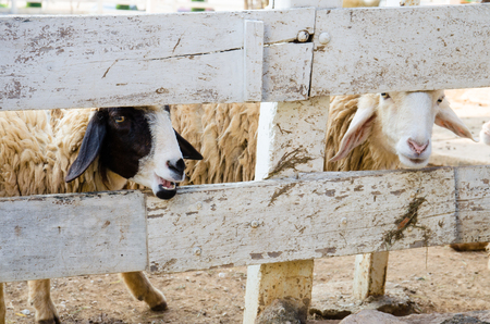 two sheep in wooden cage Imagens