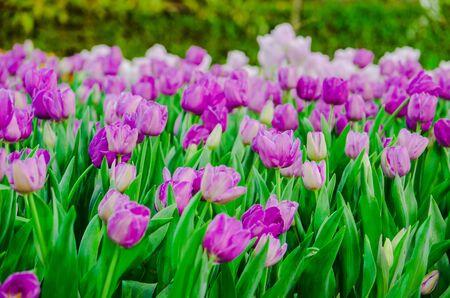 purple tulips flower field Stock Photo