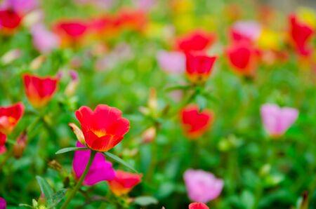 close up of colorful of Verdolaga flowers