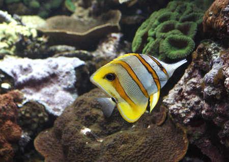 eyespot: Queensland Butterfly Fish