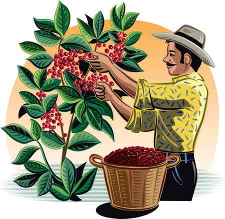 농장에서 커피를 수집하는 남자.