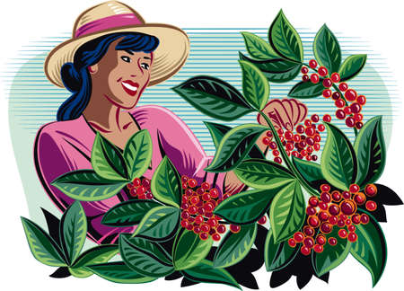 Girl collect coffee beans on a plantation.