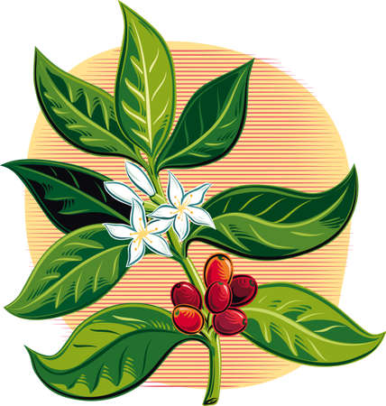 Branch of a coffee plant with some fruits and flowers.