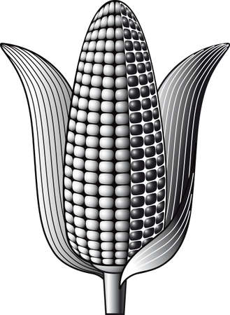 Cob of ripe corn.