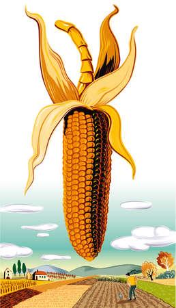 Cob of ripe corn in the landscape.