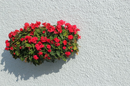 Hanging basket with red flowers on a white background with space for text photo