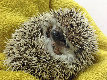 grouchy: Grumpy baby hedgehog in a ball symbolizing grumpiness, moods and temper Stock Photo