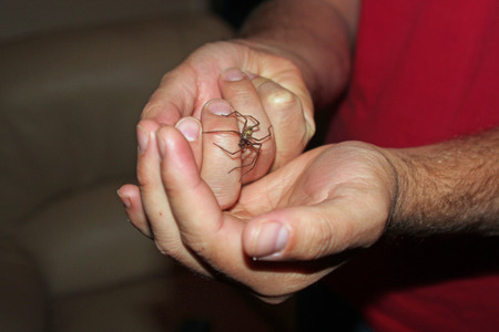 arachnophobia: Mans hands holding a house spider symbolizing spiders that live in homes and arachnophobia