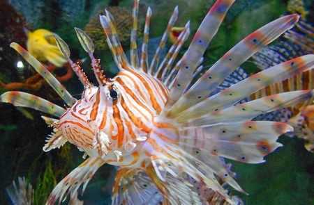 pterois: Close up of a Lionfish Pterois mombasae Stock Photo