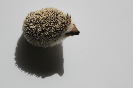 spines: Adorable African Pygmy hedgehog with brown and white spines on a white background with perfect hedgehog shadow and white copy space on the right hand side