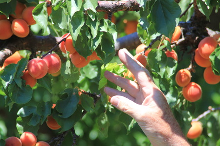 reaching up: Mans hand reaching up to pick fruit peaches and apricots from a tree laden with ripe fruit in an orchard