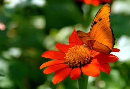 flor: butterfly in orange flower, mariposa flor