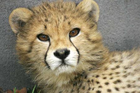 leopard head:  Leopard, head and shoulders looking at camera