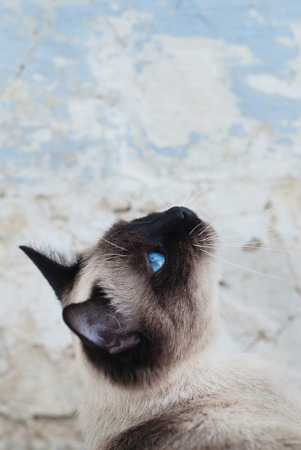 Beautiful Siamese Purebred Cat with Blue Eyes Stock Photo
