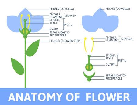 Anatomía De La Flor De Cerezo De Flores Y El Diagrama Vectorial De ...