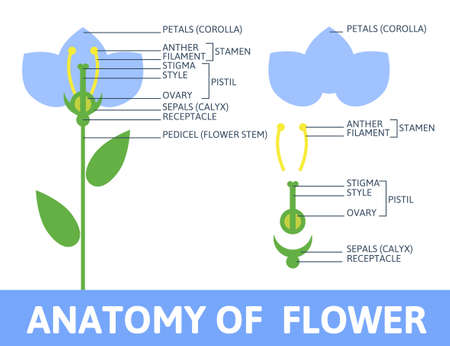 Infographics anatomy of a flower. Structures in cross section. In the flat style. Vector