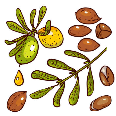 Set of isolated branches, leaves, nuts, fruits, argan tree (ironwood). Suitable for packing Argan oil creams. Vector illustration of a hand drawn style