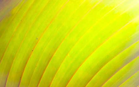young leaf: Textura de l�nea en la hoja joven Foto de archivo