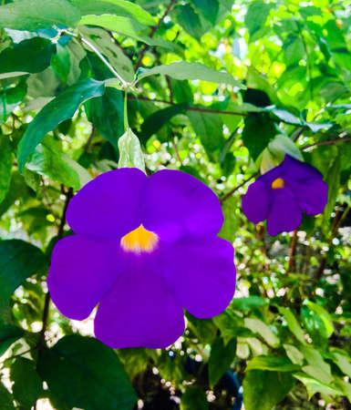 violette fleur: Nature fleur pourpre gros plan