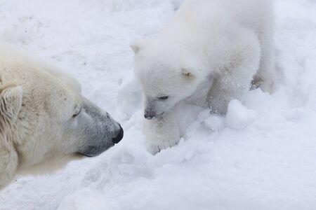Polar bear cub close-up portrait. Stock Photo