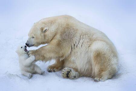 Polar bear cub close-up portrait.