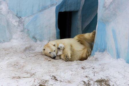 Polar bear with cub on snow. Polar bear mom teaches the kid to growl. Stok Fotoğraf